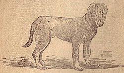 Рахитичный щенок породы Немецкая овчарка