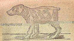 Рахитичный щенок породы Доберман пинчер